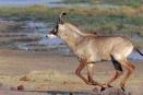 Roan antelope, Linyanti, Botswana