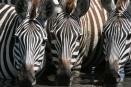 Zebra drinking - Seronera, Serengeti