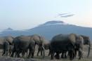 Amboseli eles and Kilimanjaro's peaks