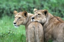 Lions of Duba Plains