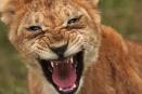 Lion cub snarling - Masai Mara