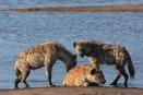 Hyena clan, Hwange, Zimbabwe