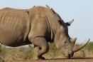 White rhino, Malilangwe, Zimbabwe
