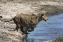 Lioness - Busanga plains, Zambia