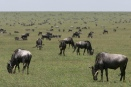 Just before the calving season in the southern Serengeti